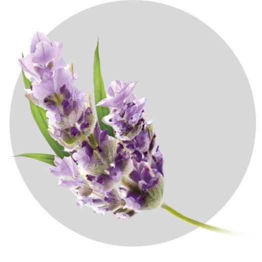 fragrance-v3-lavanda